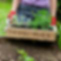 SQ_Classic-Seedlings.png