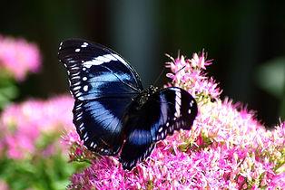 Papillons-exotiquesP8327.jpg