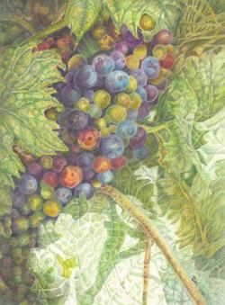 Grape Verasion