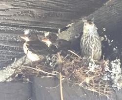 House Sparrow Nest