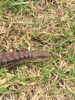 Longest Lizard Ever