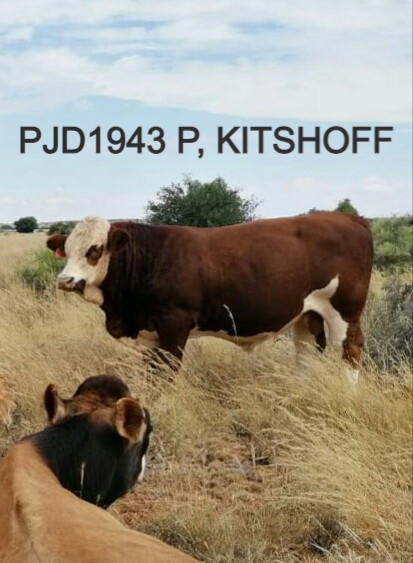 ECONOTECH KITSHOFF P, PJD1943 P