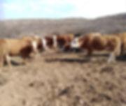 pregnant cows.jpg