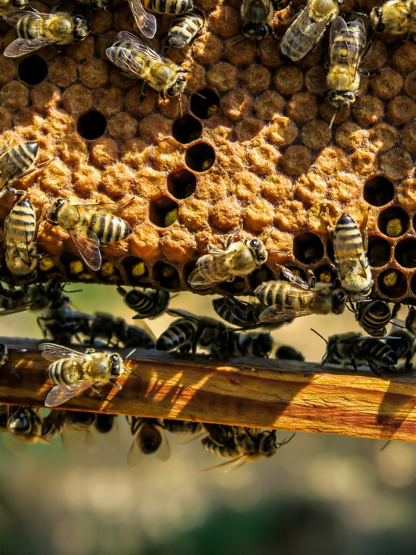 Brood Comb In a Frame.