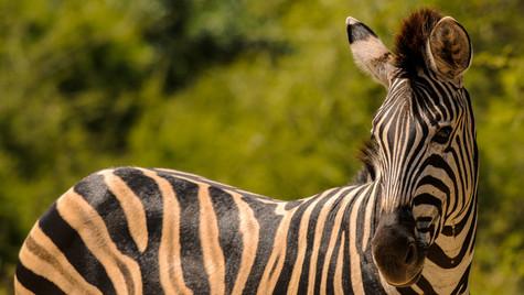 Zebra Full Length 1 Ps-6687-5.jpg