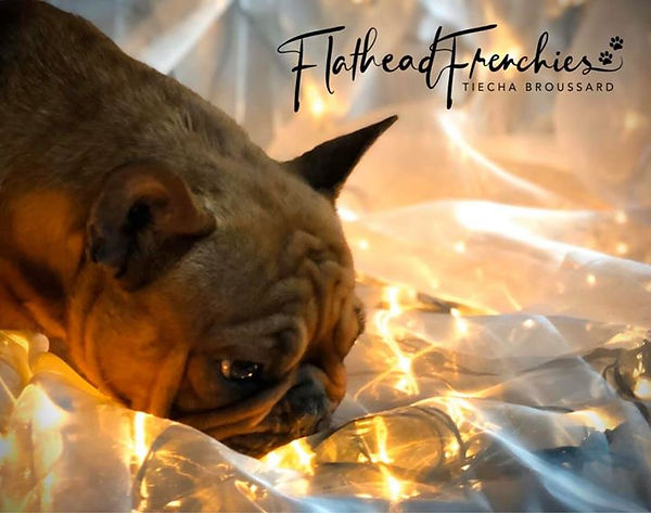 available french bulldog puppies in montana. Bergrensfrenchies flatheadvalleyfrenchies flatheadfrenchies