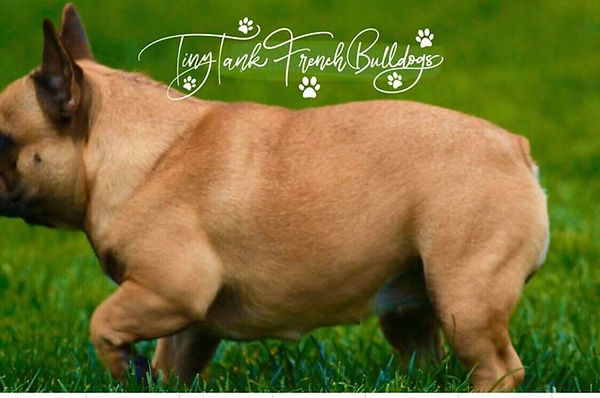 french bulldog puppies in montana. French bulldog stud services. Avaiable frenc bulldog puppies