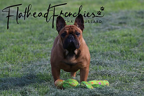 red fawn french bulldog in montana