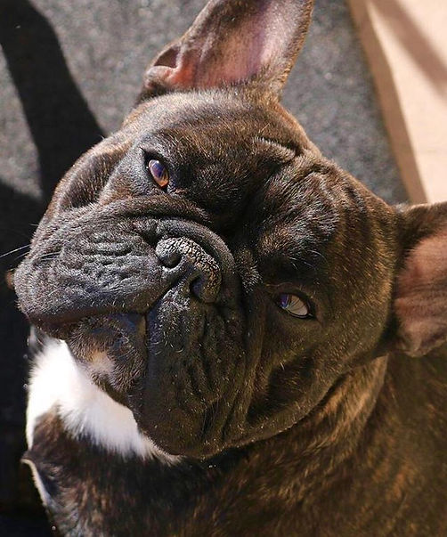 #frenchbulldogstudservice #flatheadvalleyfrenchies #bergrensfrenchies #frenchbulldogpuppiesinmontana #montanafrenchbulldogs