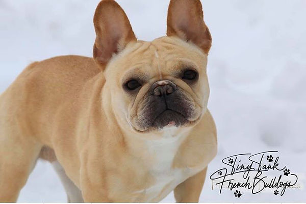 #frenchbulldogpuppiesinidaho #frenchbulldogpuppiesinwyoming #frenchbulldogpuppiesinwashington #frenchbulldogpuppiesinarizona #montanafrenchbulldogpuppies #flatheadvalleyfrenchies #Bergrensfrenchies #availablefrenchbulldogpuppies #frenchbulldogpuppiesforsale