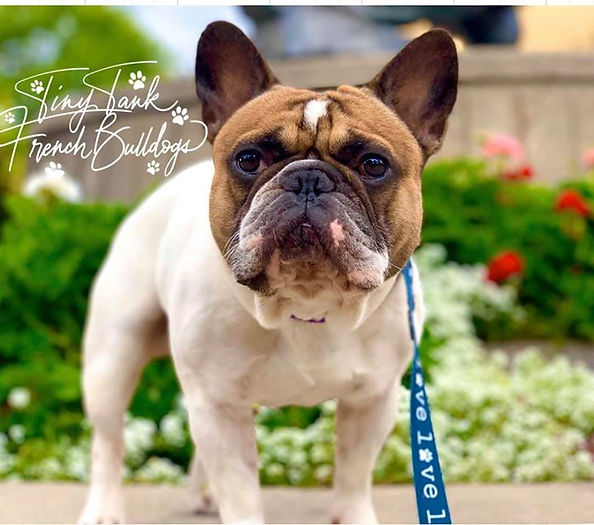 #frenchbulldog #studservice #montana #puppies #available #forsale #bergrensfrenchies #tinytankfrenchbulldogs