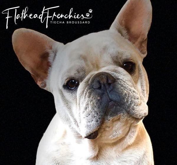 #CreamFrenchBulldogstudserviceinmontana #flatheadfrenchies #frenchbulldogpuppiesinmontana #frenchbulldogstudservice #bergrensfrnchies #flatheadvalleyfrenchies #406frenchies