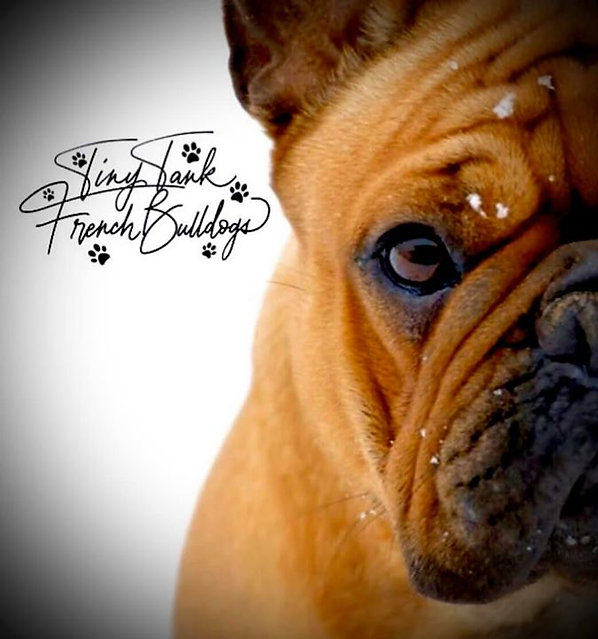 #frenchbulldogpuppiesinmontana #tinytankfrenchbulldogs #available #forsale #frencbulldogs #montana
