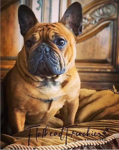 #flatheadfrenchies #bergrensfrenchies #frenchbulldogpuppiesinmontana #flatheadvalleyfrenchies #availablefrenchbulldogpuppies