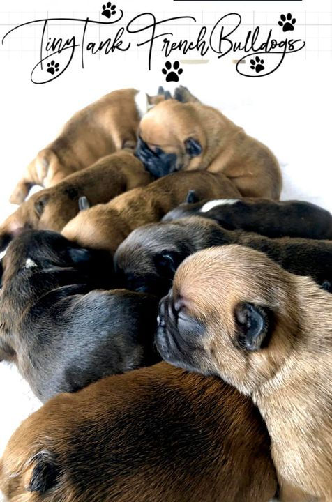 #availablefrenchbulldogpuppies #frenchbulldogpuppies #frenchbulldogpuppiesforsale #frenchie #montana #puppies
