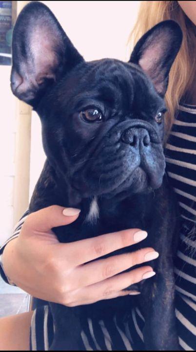 #frenchbulldogsforsale #frenchiestudservice #AKCfrenchbulldogpuppies