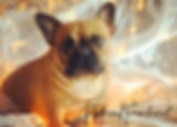 bergrens frenchies flathead valley frenhies french bulldog puppie in montana available french bulldogs