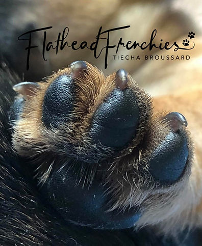 French buldog puppis in montana