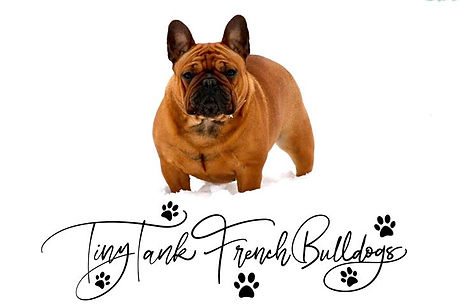 #tinytankfrenchbulldogs #tinytankfrenchies #availablefrenchbulldogpuppiesinmontana #flatheadvalleyfrenchies #bergrensfrenchies #medinasfrenchbulldogs #frenchbulldogpuppies #bozeman #billings #greatfalls #whitefish #missoula #poochperks #barkbox #pupbox #chewy #bullymake #frenchbulldogpuppiesforsale