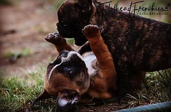 #availablefrenchbulldogpuppies #montanafrenchbulldogpuppies