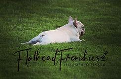French bulldog stud srvice