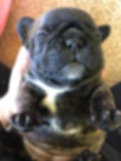 french bulldo puppies