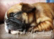 french bulldog puppies in montana