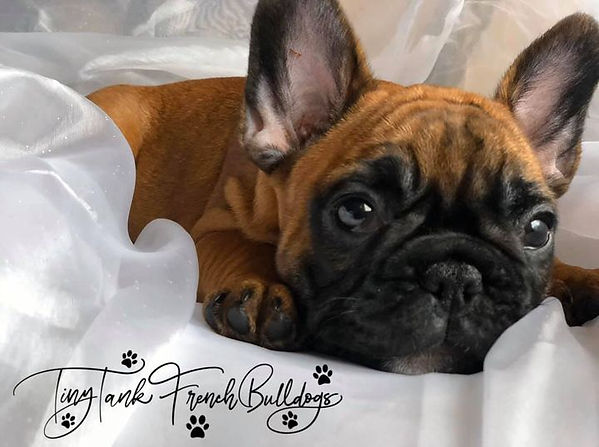 available french bulldog puppies in montana