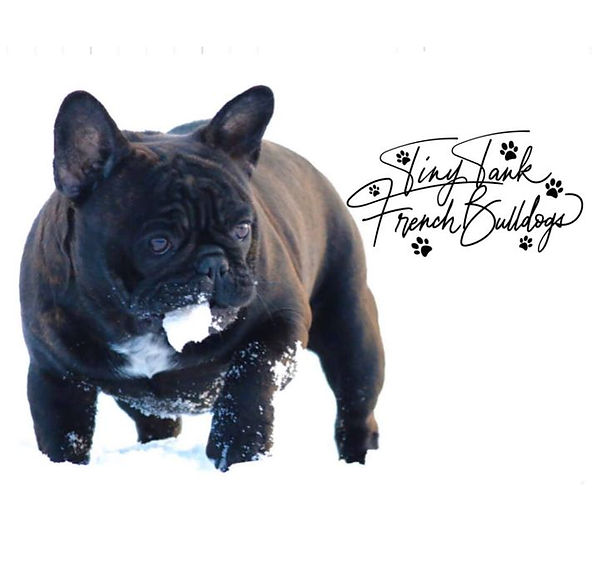 available french bulldog puppies