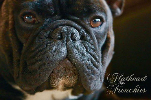 #frenchbulldog #frenchie #frenchiesofins