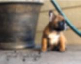#frenchbulldogpuppiesforsaleinmontana #tinytankfrenchbulldogs #montanafrenchbulldogs #availablefrenchbulldogpuppies