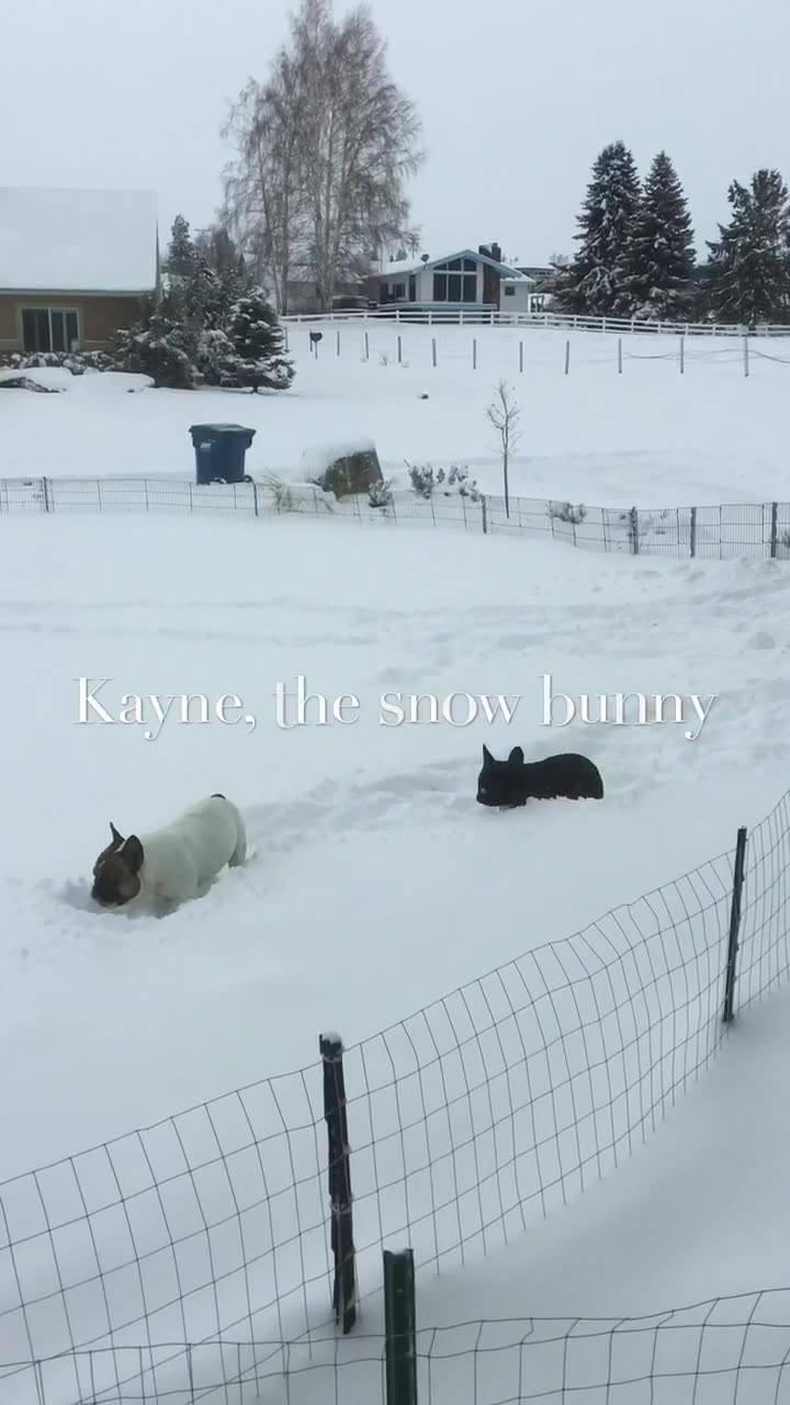Kayne the french bulldog
