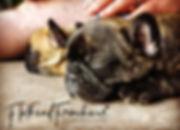 french bullog puppies