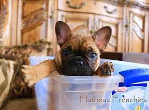 #tinytankfrenchbulldogs #medinasfrenchbulldogs #bergrensfrenchies #availablefrenchbulldogpuppies