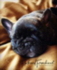 sleeping french bulldog at flathead frenchie
