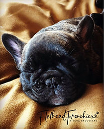 #tinytankfrenchbulldogs #flathedfrenchies #availablefrenchbulldogpuppies