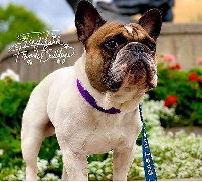 #tinytankfrenchbulldogs #frenchbulldogstudservice #availablefrenchbulldogpuppiesinmontana