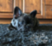 #availablemalefrenchbulldogpuppies #availablefemalefrenchbulldogpuppies #frenchbulldogpuppies #montanafrenchies #tinytankfrenchbulldogs #flatheadfrenchies #flatheadvalleyfrenchies #bergrensfrenchies #hellgatefrenchies #hellgatefrenchbulldogs #medinafrenchies #edinafrenchbulldogs