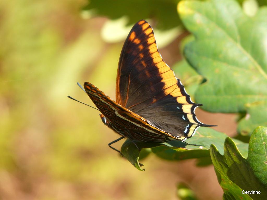 Bolboreta de catro caudas