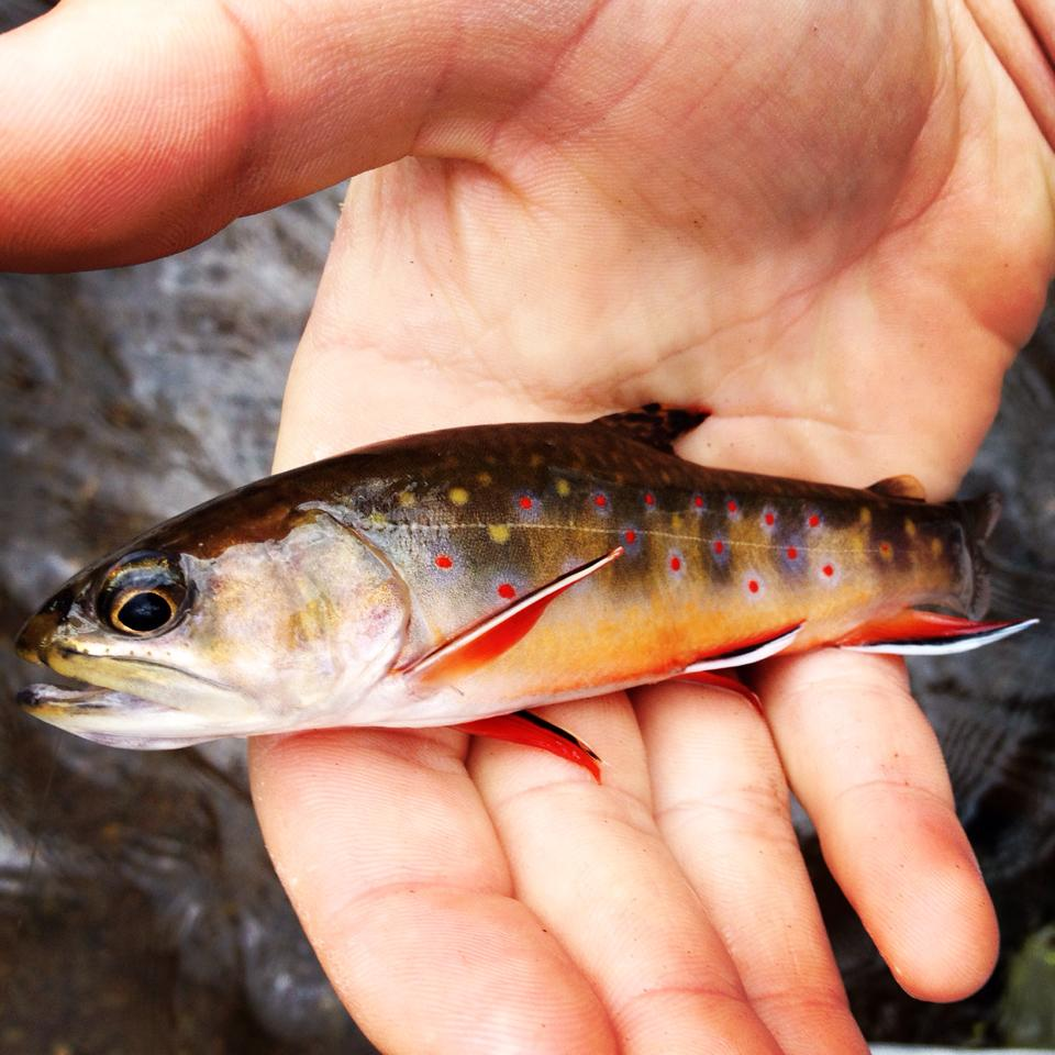 High country native brook trout