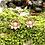 Thumbnail: Sweet Lotus