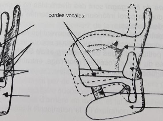 The laryngeal tilt (coperto)