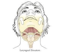 Elevators of the larynx