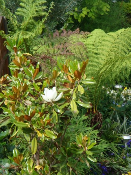 Magnolia and tree ferns