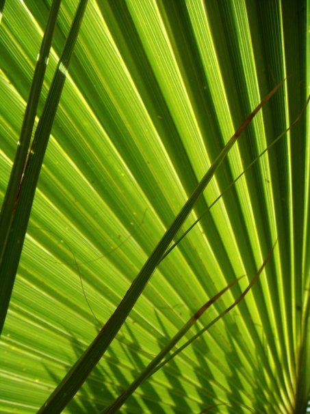 A palm leaf