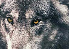 She Wolf tome 1 de Gaëlle Bonnassieux.