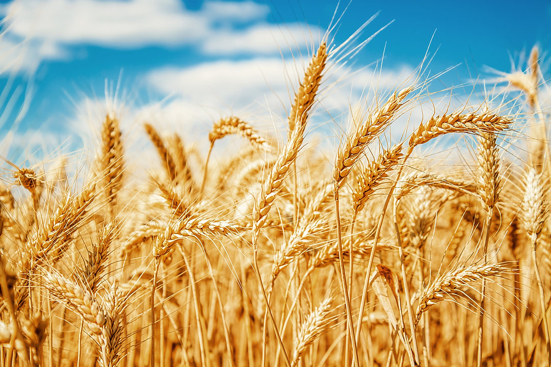 Gold%20wheat%20field%20and%20blue%20sky_