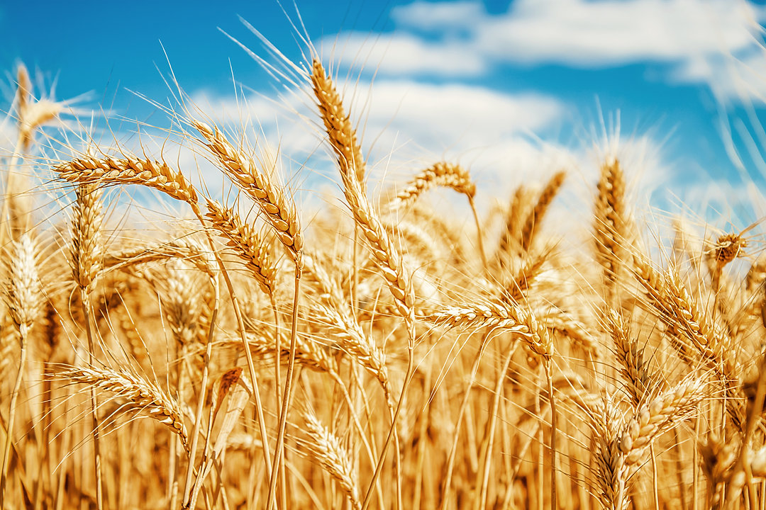 Gold wheat field and blue sky.jpg