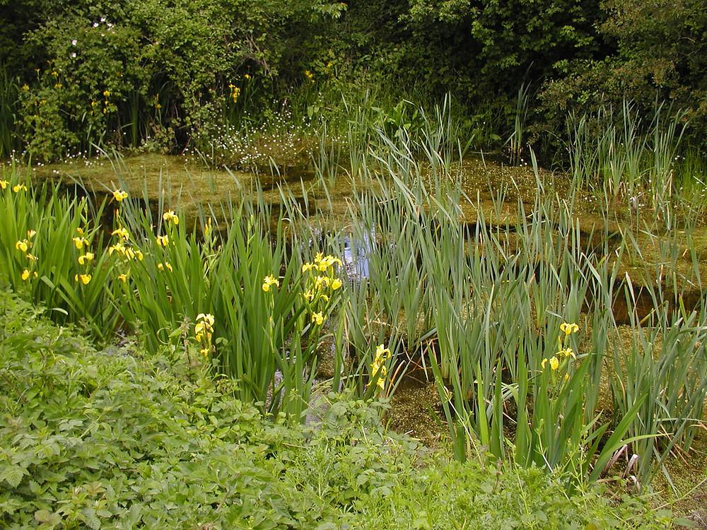An established pond habitat with good marginal plant communities