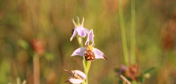 Bee%2520Orchid%2520-%2520Many%2520of%252